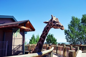 cheyenne mountain zoo_giraffe_02