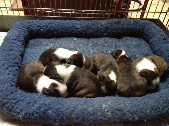 boston terrier puppies_02