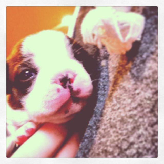 boston terrier puppies_03