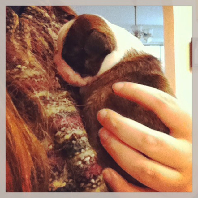boston terrier puppies_07