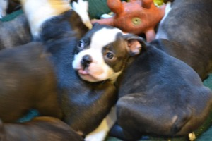 boston terrier_02