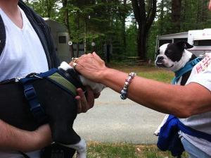 boston terriers