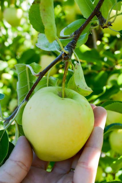 Apple Picking_Tougas Family Farm-1