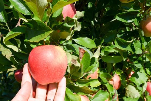Apple Picking_Tougas Family Farm-11