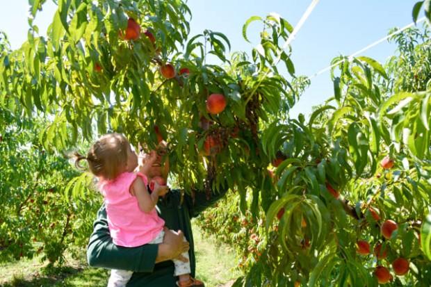 Apple Picking_Tougas Family Farm-26