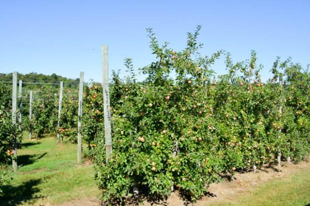 Apple Picking_Tougas Family Farm-32