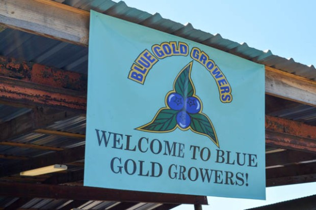Blueberry Picking 2016_Blue Gold Growers-01