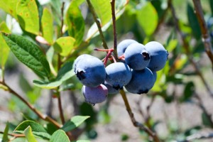 Blueberry Picking 2016_Blue Gold Growers-03