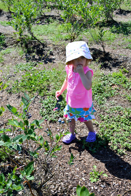 Blueberry Picking 2016_Blue Gold Growers-04