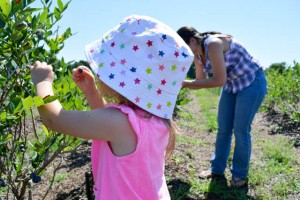 Blueberry Picking 2016_Blue Gold Growers-06