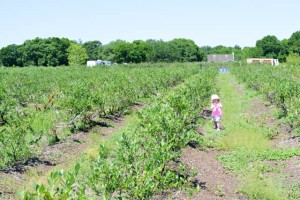 Blueberry Picking 2016_Blue Gold Growers-11