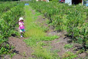 Blueberry Picking 2016_Blue Gold Growers-12