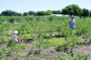 Blueberry Picking 2016_Blue Gold Growers-13