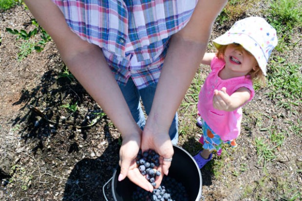 Blueberry Picking 2016_Blue Gold Growers-15