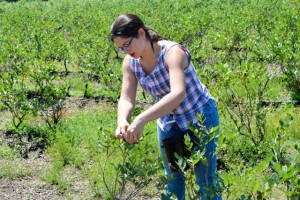 Blueberry Picking 2016_Blue Gold Growers-16