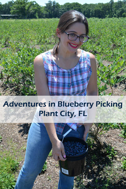 Blueberry Picking 2016_Blue Gold Growers