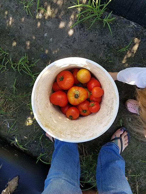 Tomato Picking_Apollo Beach_FL_06