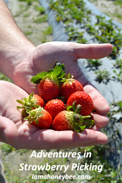 adventures-in-strawberry-picking