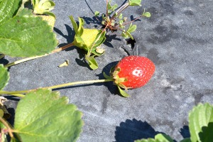 adventures-in-strawberry-picking_08